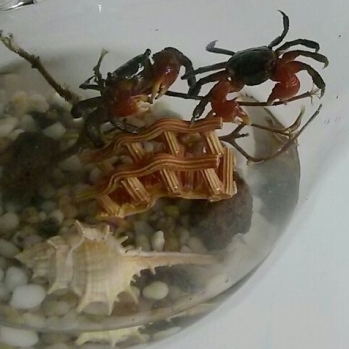 Crabs in Glass Bowl $45.90